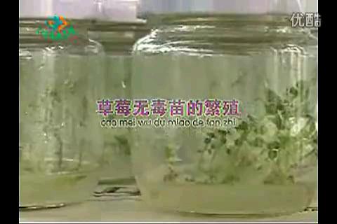 草莓无毒苗的繁殖