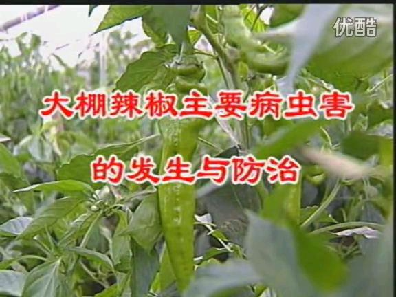 大棚辣椒主要病虫害的发生与防治