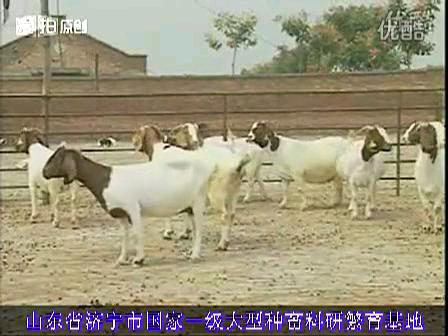 波尔山羊养殖技术