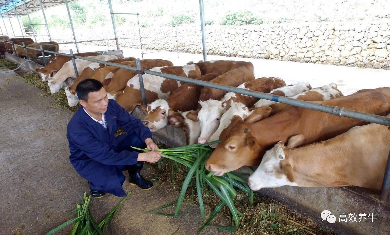农家春季养牛注意事项