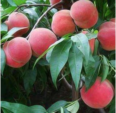 桃树病虫害防治
