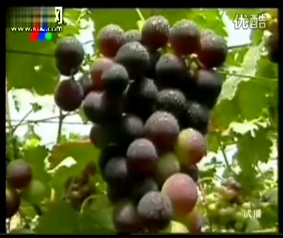 大棚葡萄种植