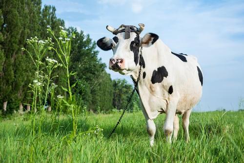 奶牛难产的原因及救治