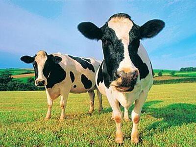奶牛全混合日粮饲喂技术