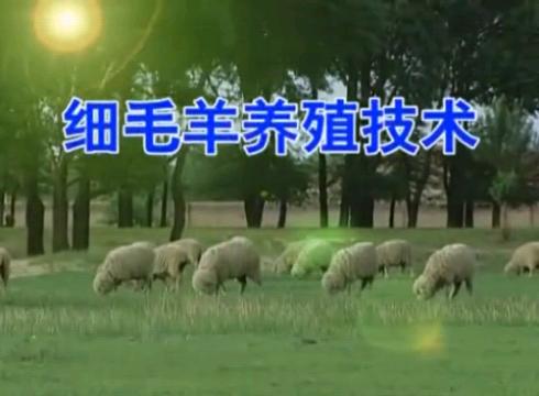 细毛羊养殖技术