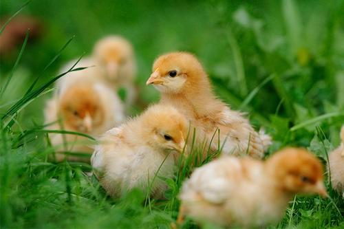 蛋鸡规模化养殖—雏鸡阶段饲养管理