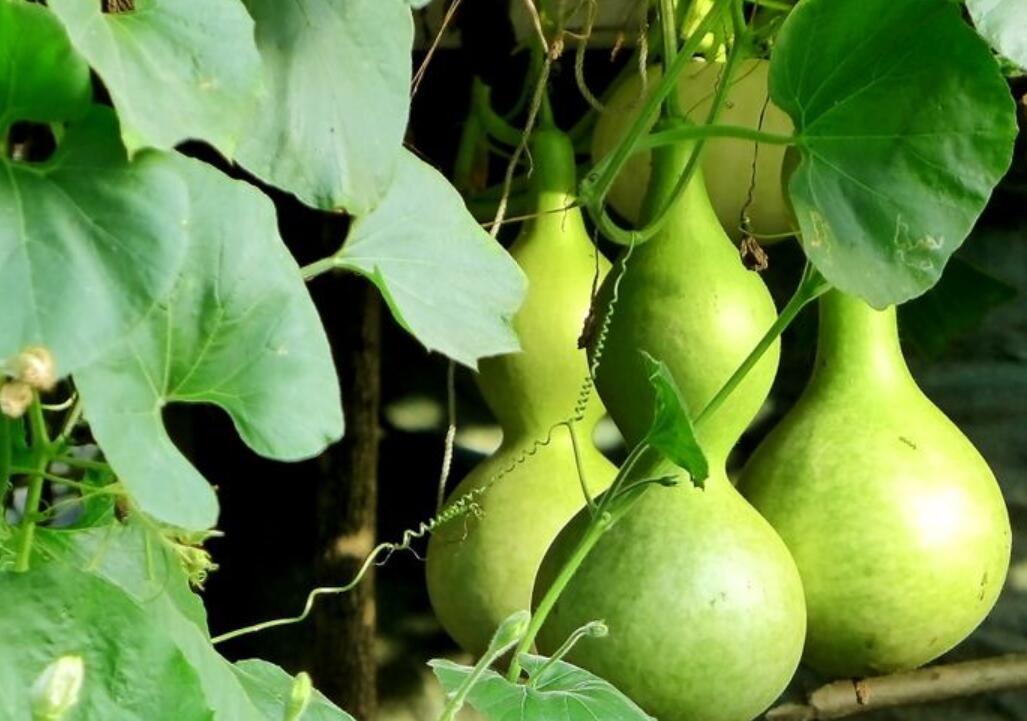 怎样种植葫芦