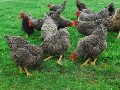 芦花鸡的生态养殖技术