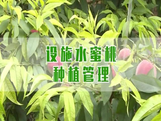设施水蜜桃种植管理