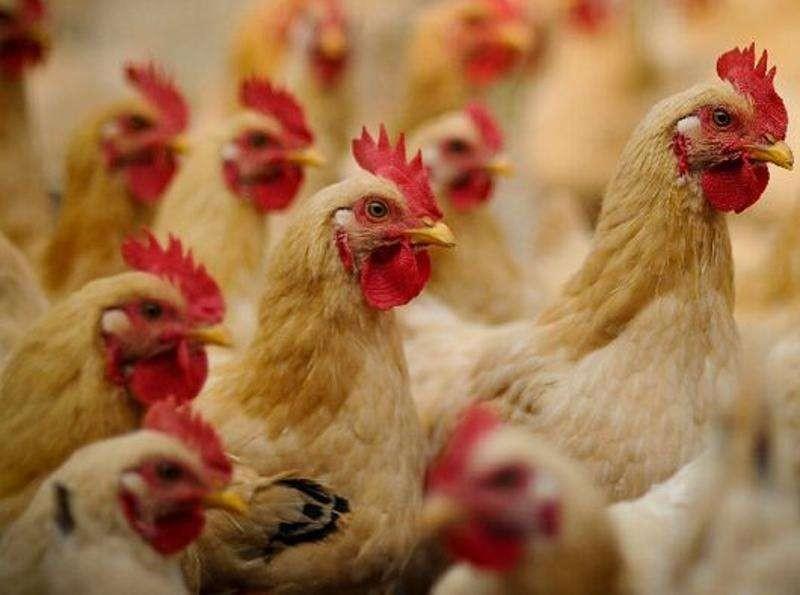 商品肉鸡的饲养管理