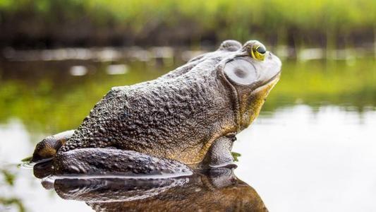 优质牛蛙养殖技术