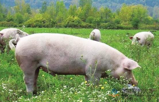 现代生猪养殖技术
