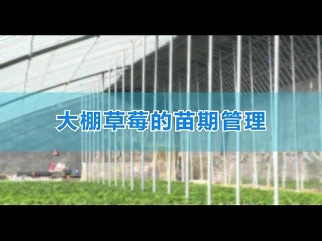 大棚草莓的苗期管理