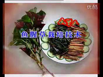 鱼腥草的栽培技术